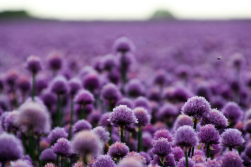 image-Purple flowers