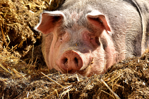 A pig lying down in the hay
