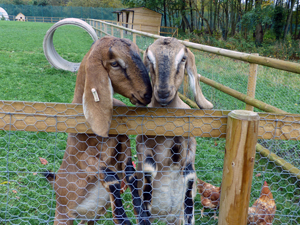 Two goats in a large grassy enclosure